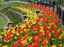 a bed of red and yellow tulips